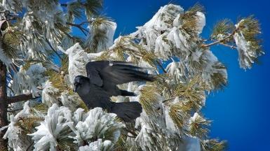 December Snow_20111215_0824 Raven blog
