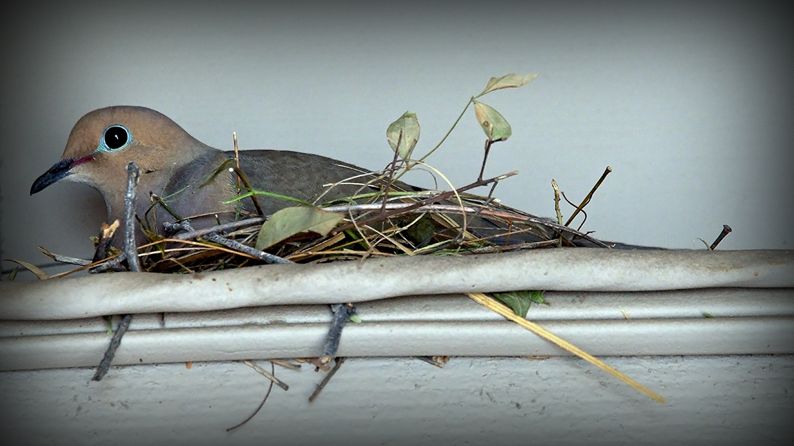dove nest building