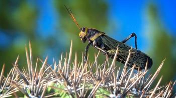 Grasshopper On Cactus