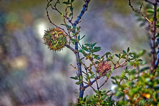 SCVN Nature Walk 01-03-12_20120104_1179 Creosote Gall Midge blog