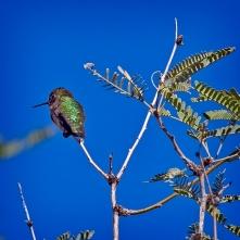 SCVN Nature Walk 01-03-12_20120104_1183 hummingbird blog