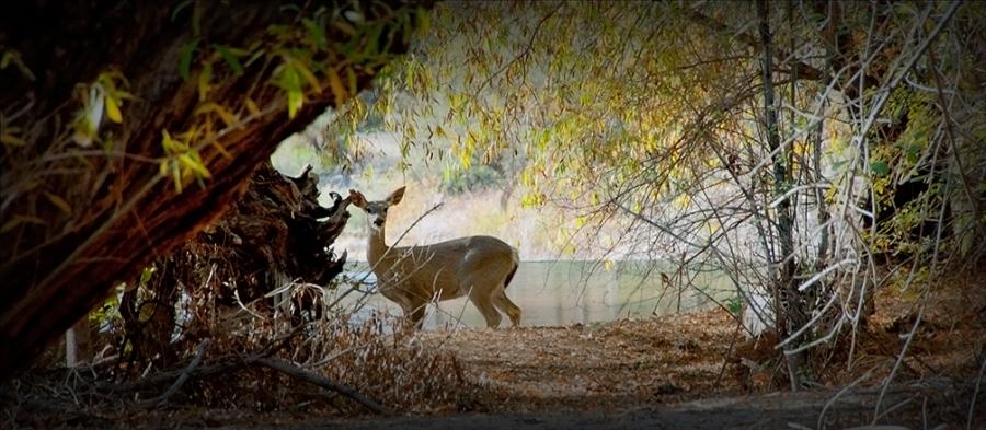 SCVN Nature Walk 12-28-11_20111228_1036 Deer by Water II blog