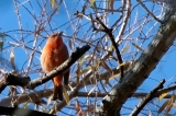 Hepatic Tanager-05_blog