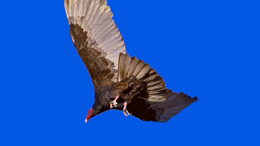Turkey Vultures March 2013