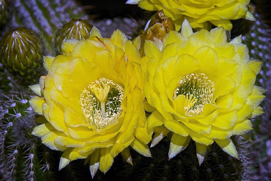 Cactus Flowers 2013