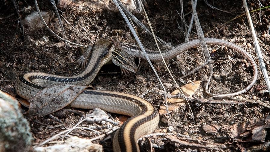 Mecican Garter Snake AZ Striped Whiptail blog