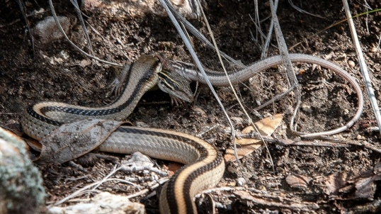 Mecican Garter Snake AZ Striped Whiptail blog