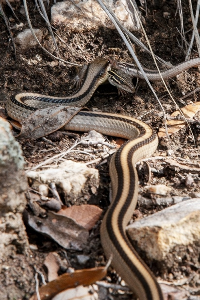 Mexican Garter Snake AZ Striped Whiptail II blog