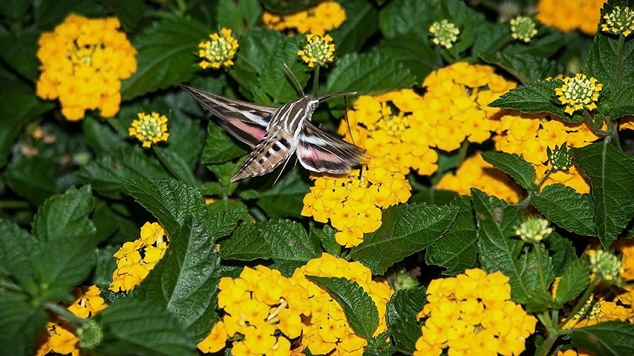 White-lined Sphinx-7893-2 blog