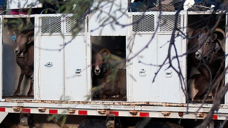 Bighorn Sheep Release_Catalina State Park_11_18_2013-31_blog