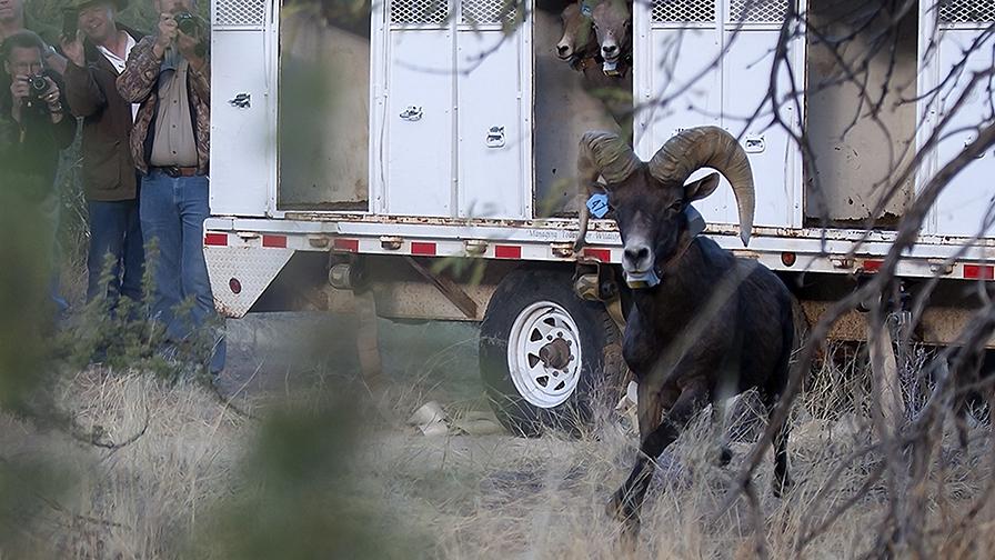 Bighorn Sheep Release_Catalina State Park_11_18_2013-78_blog