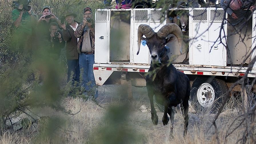 Bighorn Sheep Release_Catalina State Park_11_18_2013-79_blog