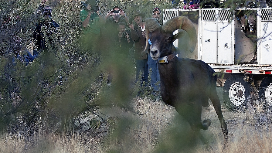 Bighorn Sheep Release_Catalina State Park_11_18_2013-80_blog