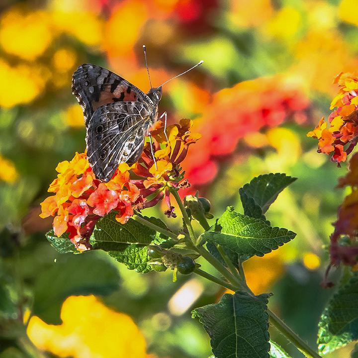 Butterflies & Half-Moon-8814 Painted Lady blog