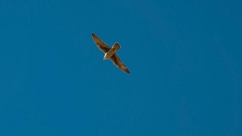 Cooper's Hawk-8646-2 blog