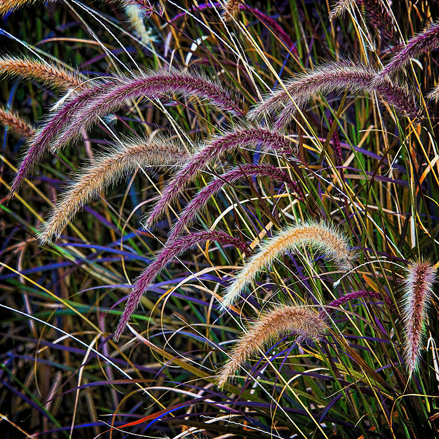 Colorful Fountain Grass blog