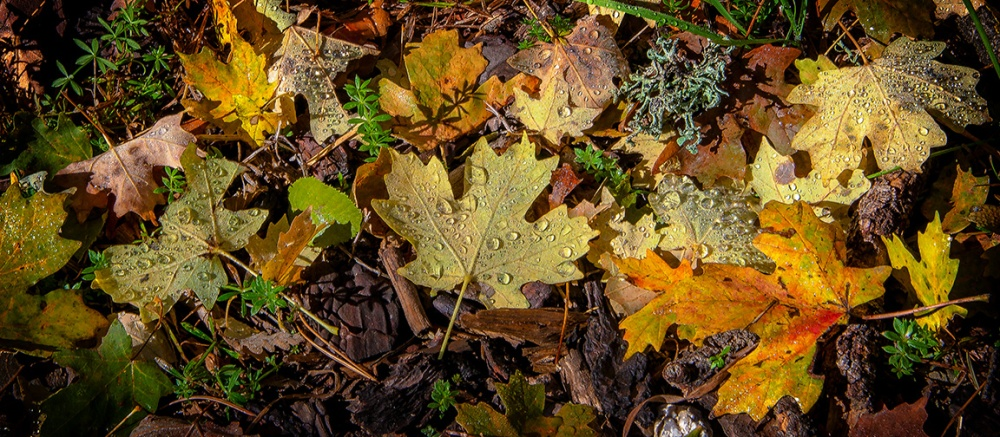 Fall Morning Leaves HD II blog