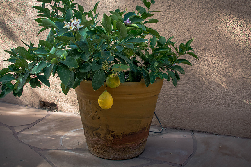 Lemon Tree-9030 blog