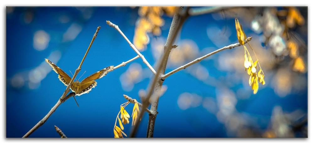 Ned's Nature Walk-9743 Mourning Cloak framed blog