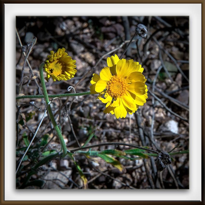 Ned's Nature Walk-9763 Desert Marigold blog