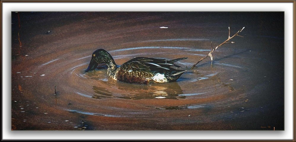 Northern Shoveler Duck-9636 blog framed