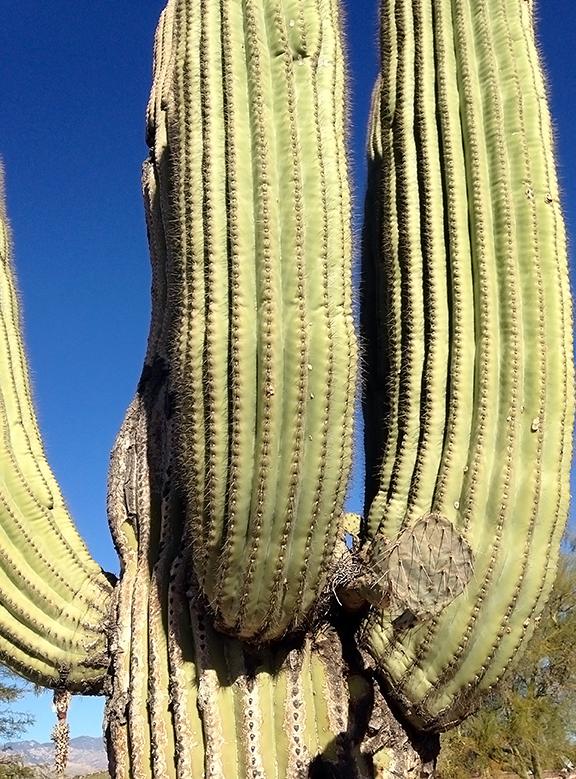 Prickly Pear On Saguaro blog