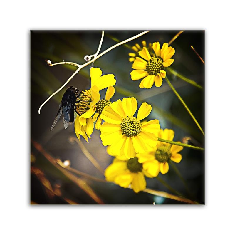 Brittlebush -0562 Bee on Blossom blog