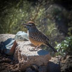 Desert Museum-9773 desert Wren blog