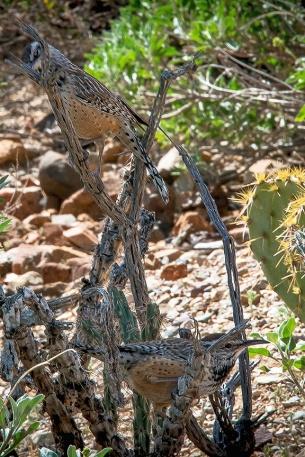 Desert Museum-9835 Desert Wren blog