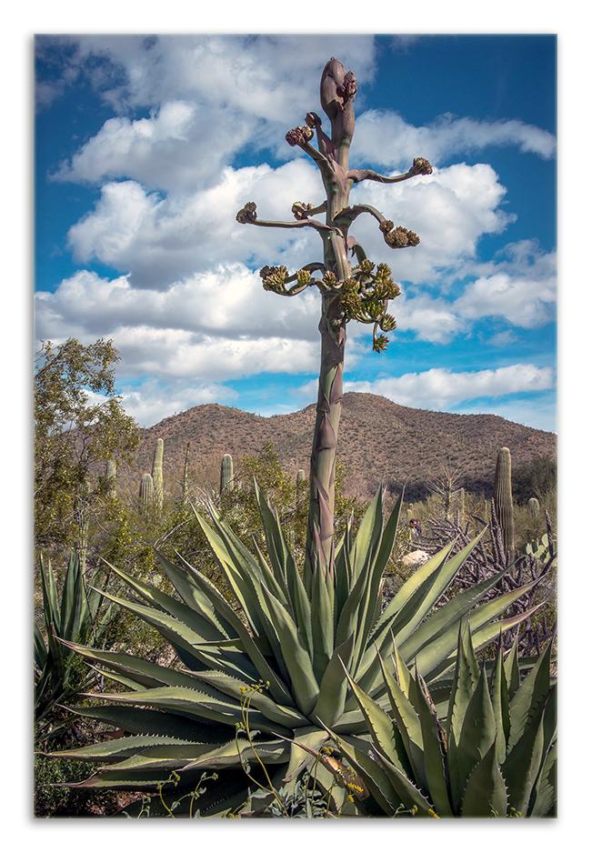 Desert Museum-9854 agave stalk blog framed