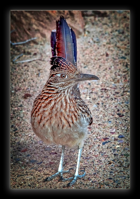 Desert Museum-Roadrunner blog-black