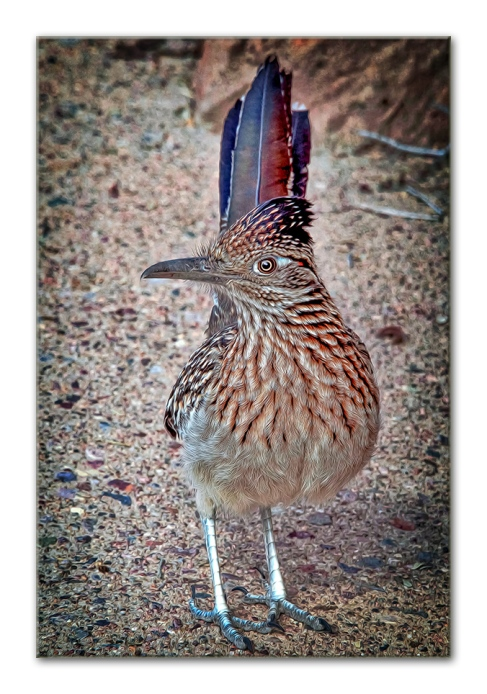 Roadrunner -- Image by kenne