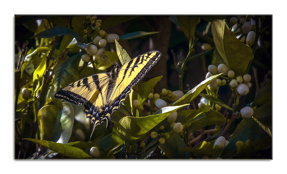 Two-Tailed Swallowtail-0494 blog framed