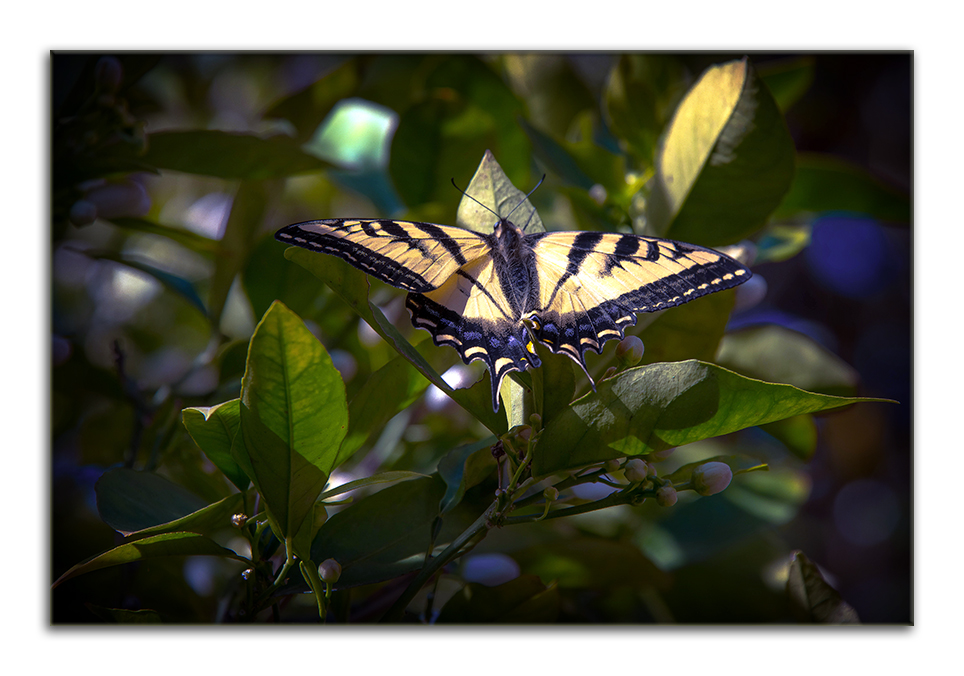 Two-Tailed Swallowtail-0500 blog framed