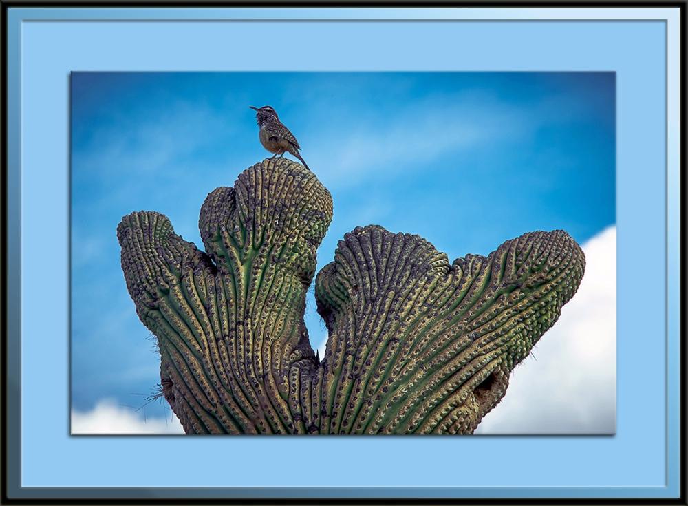Cactus Wren On Crested Saguaro-9818 blog