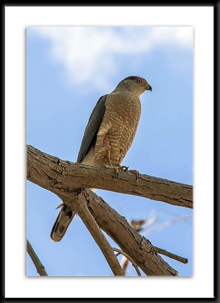 Cooper's Hawk (1 of 1)-2 blog framed