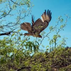 Cooper's Hawk (1 of 1)-2 blog