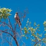 Cooper's Hawk (1 of 1)-3blog