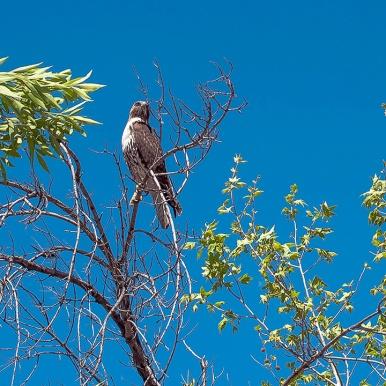 Cooper's Hawk (1 of 1)-3 blog