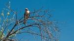Cooper's Hawk (1 of 1)-5blog