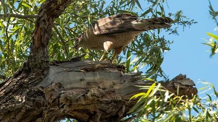 Cooper's Hawk (1 of 1)-6 blog