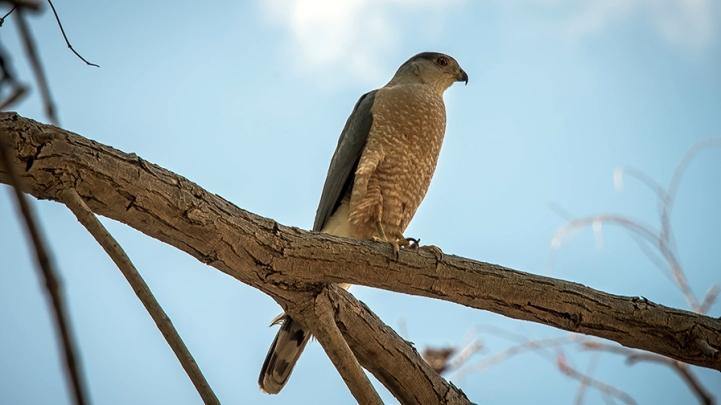 Cooper's Hawk (1 of 1) blog