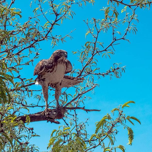 Copper's Hawk (1 of 1)-2 blog