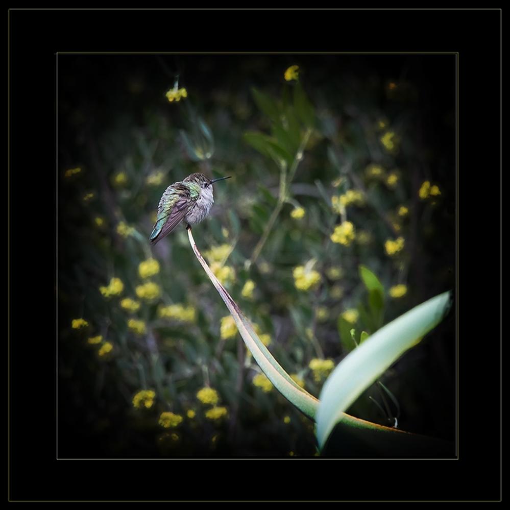 Desert Museum-9815 Juvinile Anna's Hummingbird blog