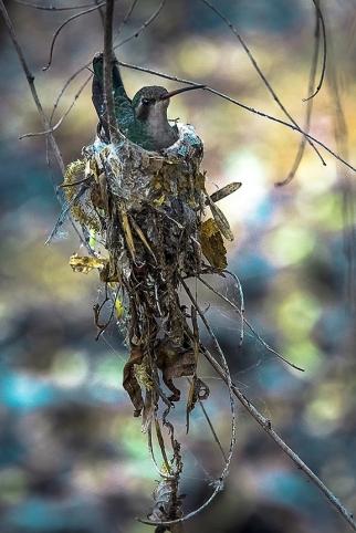 Hummingbird On Nest (1 of 1)-2 blog