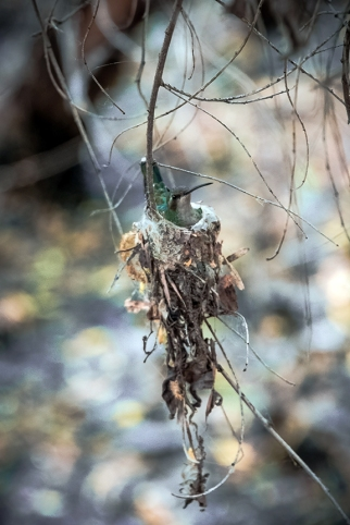 Hummingbird On Nest (1 of 1)-3 blog