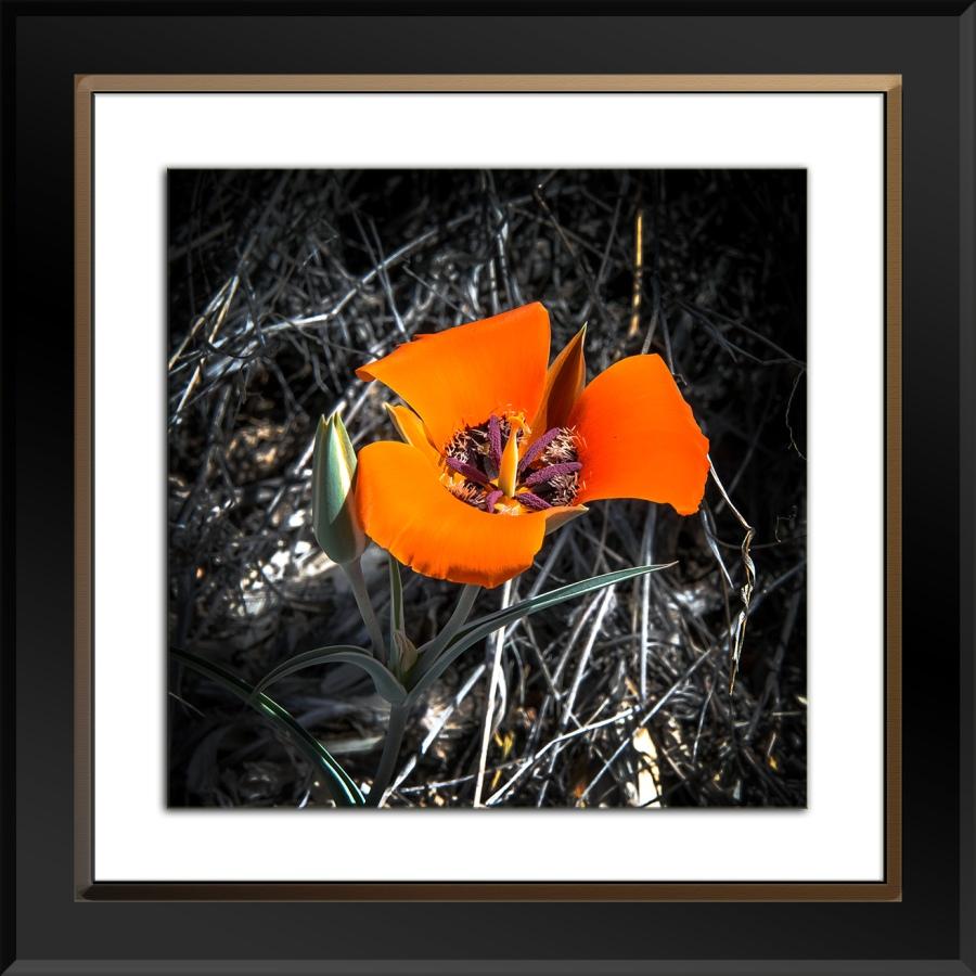 Milagrosa Loop-0740 Desert Mariposa Lily blog