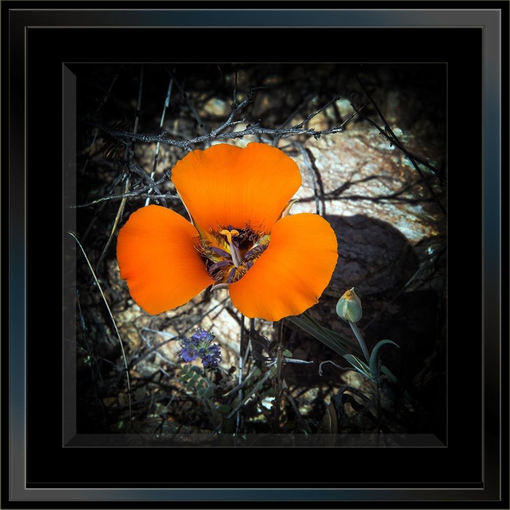 Milagrosa Loop-0741 Desert Mariposa Lilly Blog