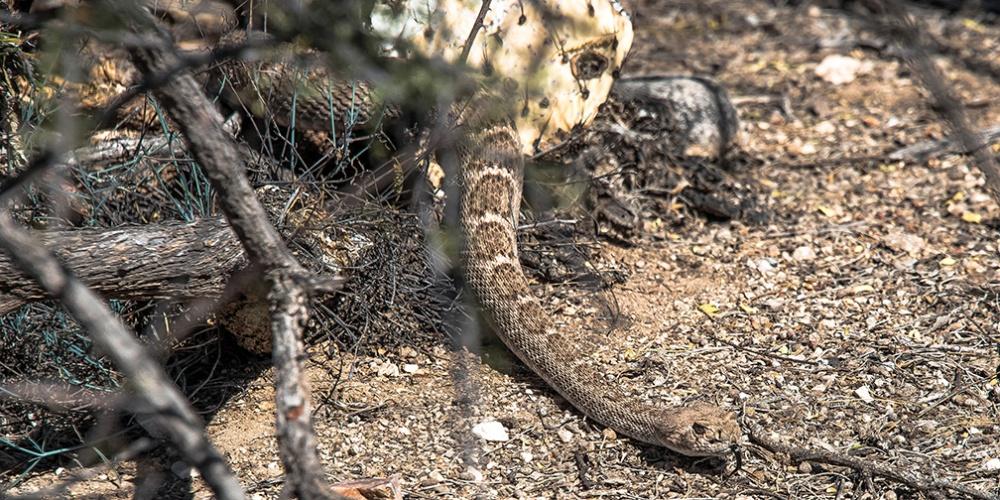 Rattlesnake  (1 of 1)-2 blog