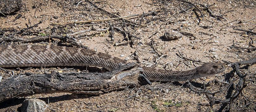 Rattlesnake  (1 of 1)-4 blog